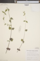 Image of Urtica chamaedryoides