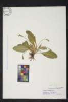 Primula vulgaris image
