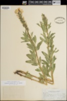 Thermopsis montana image