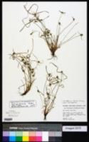Cyperus hortensis image