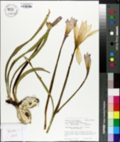 Habranthus robustus image