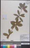 Pieris phillyreifolia image