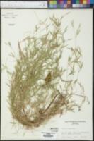 Panicum dichotomum var. lucidum image