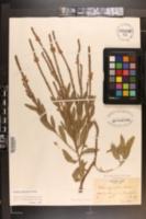 Image of Verbena × moechina
