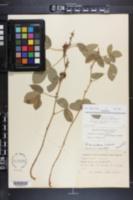Rhynchosia tomentosa image