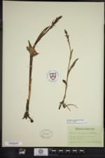 Platanthera aquilonis image