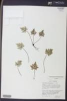 Notholaena californica image