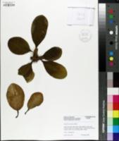 Image of Euphorbia leuconeura
