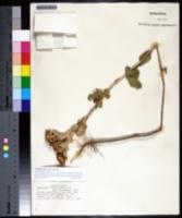 Grindelia ciliata image