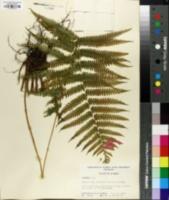 Image of Dryopteris augescens