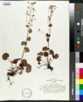 Image of Saxifraga rotundifolia
