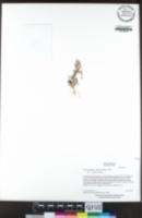 Psilocarphus brevissimus image
