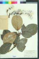 Image of Populus maximowiczii