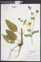 Silphium asteriscus image