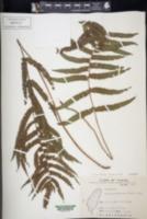 Christella acuminata image