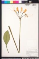 Image of Eucrosia bicolor