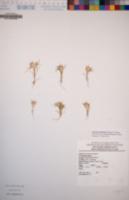 Eriastrum abramsii image