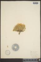 Phlox densa image