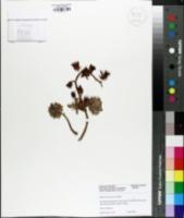 Image of Echeveria harmsii