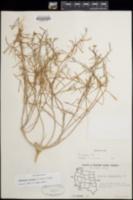 Eremothera refracta image
