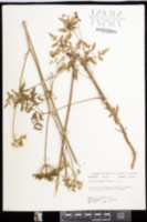 Angelica dentata image