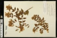 Abelia × grandiflora image