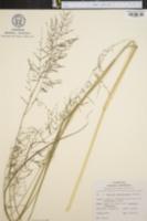 Image of Coleataenia rigidula