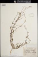 Eremothera chamaenerioides image