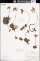 Image of Sedum eastwoodiae