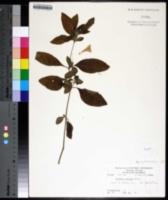 Image of Ruellia heteromorpha