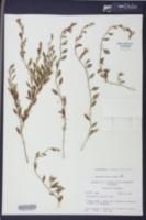 Jacquemontia curtissii image