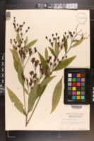 Vernonia gigantea subsp. gigantea image