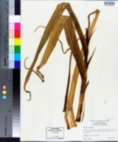 Allium sativum image