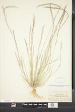 Aristida longespica var. geniculata image