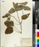 Image of Croton argenteus