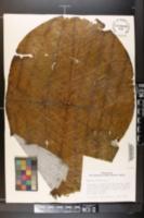 Image of Magnolia dealbata