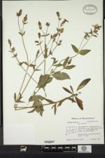 Silene dioica image