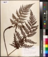 Image of Polystichum hispidum