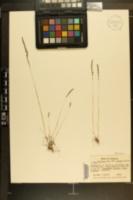 Vulpia octoflora var. glauca image