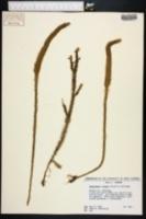 Lycopodiella x brucei image