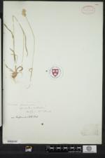 Dactylis glomerata subsp. hispanica image