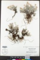 Antennaria geyeri image
