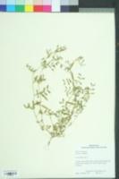 Vicia lathyroides image