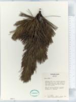 Image of Pinus cembra