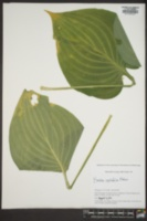 Image of Hosta rectifolia
