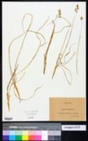 Image of Hierochloe australis