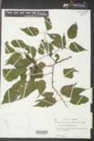 Celtis laevigata image