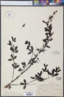 Baptisia alba var. macrophylla image