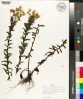 Image of Heterotheca hyssopifolia