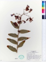 Image of Tricyrtis formosana